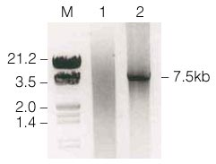 p300 PCR product following amplification with Taq and Pfu DNA Polymerases.